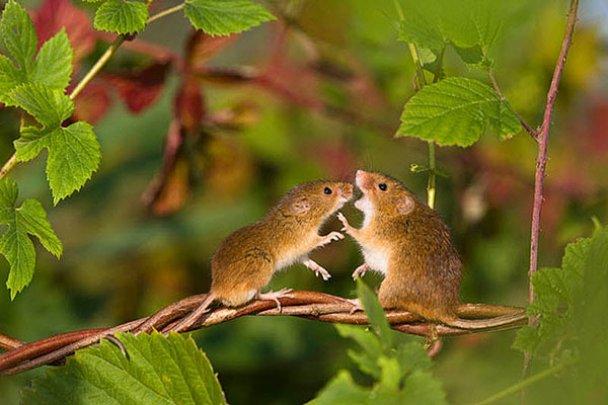 Миші-польовки_5