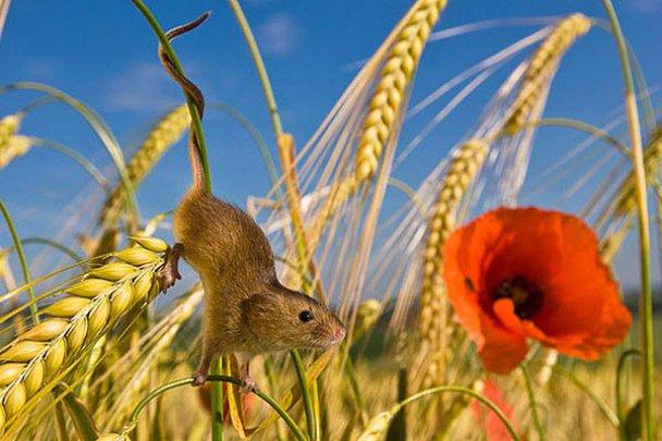 Миші-польовки_9