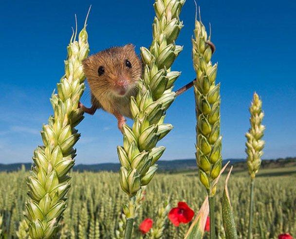 Миші-польовки_10