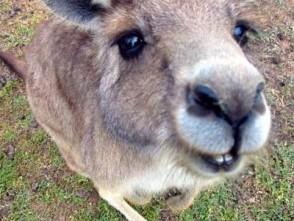 У Австралії заблудлий кенгуру неспішно прогулювався біля аеропорту