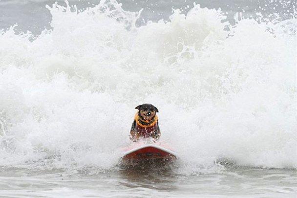 Чемпіонат з собачого серфінгу_8