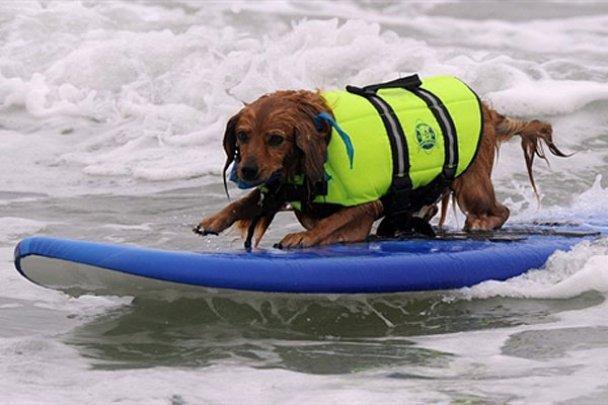 Чемпіонат з собачого серфінгу_9