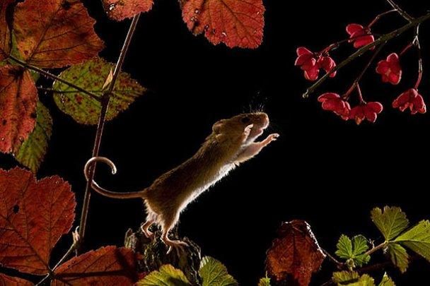Миші-польовки_2