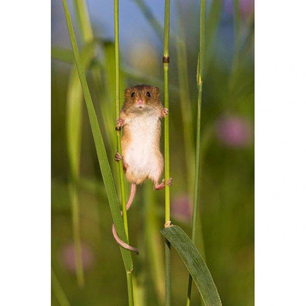 Миші-польовки_7