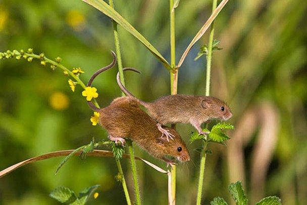 Миші-польовки_8