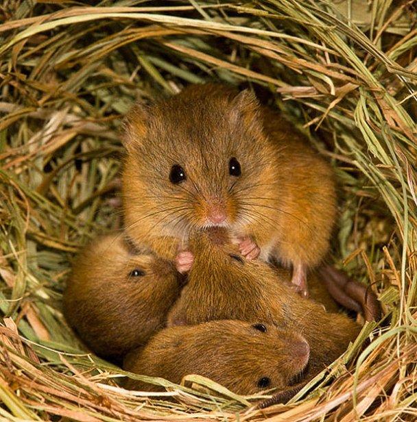 Миші-польовки_12