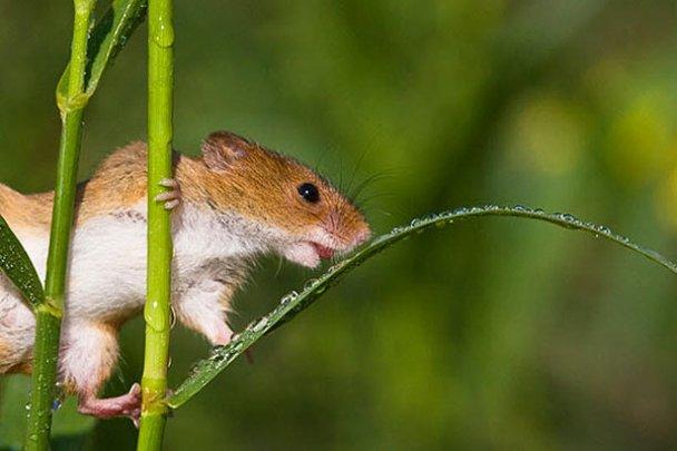 Миші-польовки_15