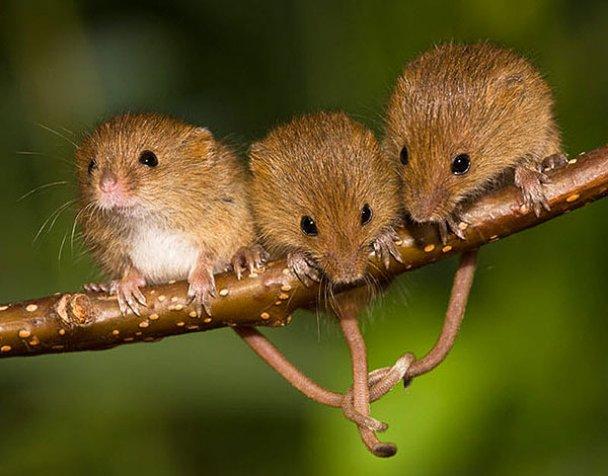 Миші-польовки_16