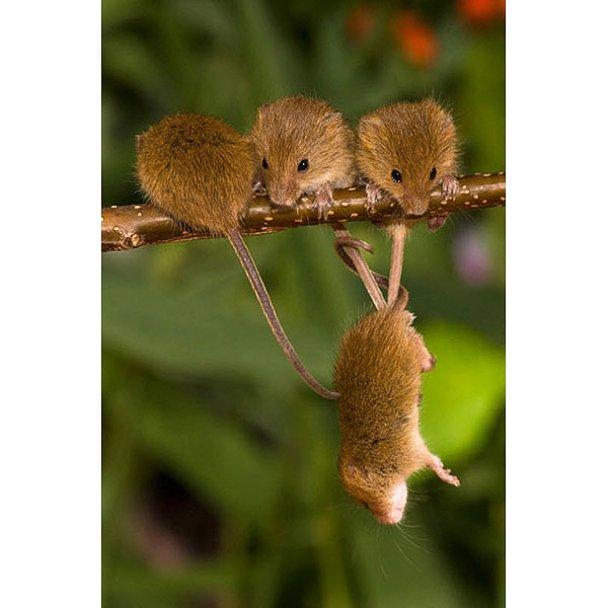 Миші-польовки_17