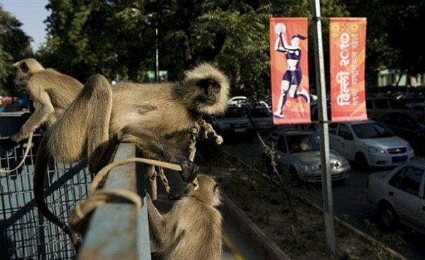 Мавпи-лангури_5