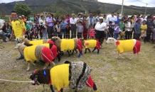Овцы-футболисты сыграли матч Колумбия - Бразилия (видео)