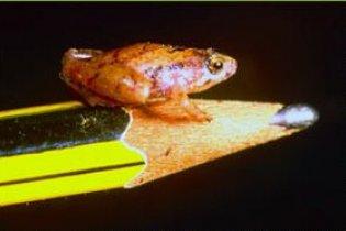 На Борнео знайшли жабу розміром з горошину