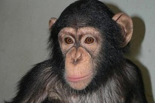 Шимпанзе в київському зоопарку помер від ниркової недостатності