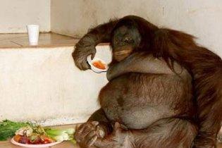 Стокилограммового орангутана посадили на диету