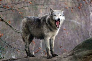В Одесском зоопарке волки покусали маленькую девочку