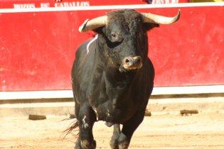 В Каталонии принят закон, регламентирующий праздники с быками