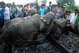 В Индии скоростной поезд задавил насмерть стадо слонов