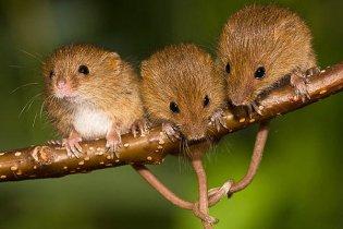 Науковці навчили мишей співати, як птахи