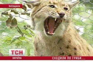 Под Киевом на грибников набросилась рысь