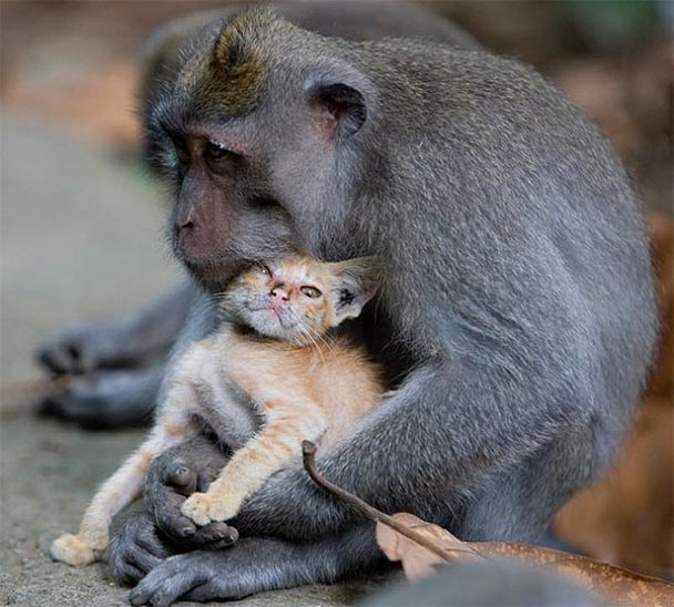 """На Балі мавпа """"усиновила"""" руде кошеня"""