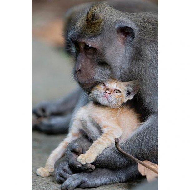 "На Бали обезьяна ""усыновила"" рыжего котенка"