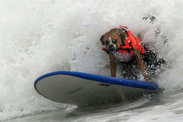 Чемпіонат з серфінгу серед собак у Каліфорнії