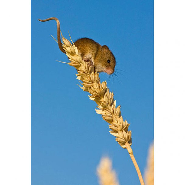 Таємне життя мишей-малявок