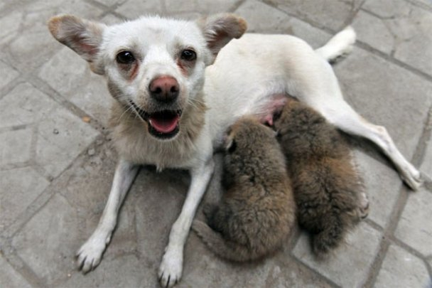 Дивні усиновлення у світі тварин